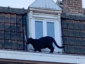 Pantera é resgatada após percorrer telhados na França